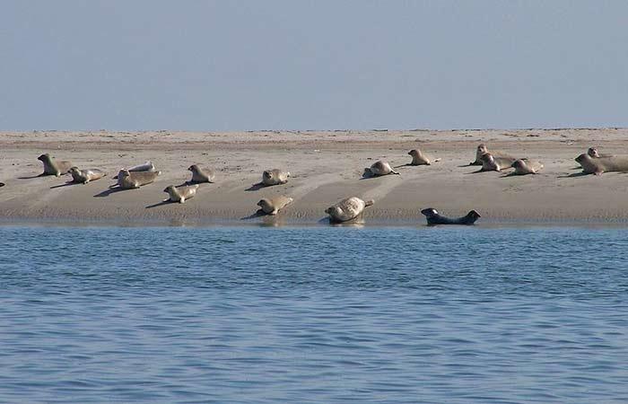 Seehunde im Nationalpark Wattenmeer in Dänemark