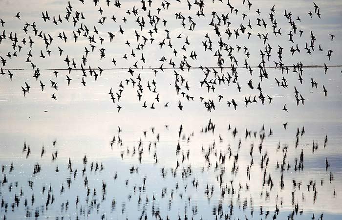 Vogelschwarm auf Fanø