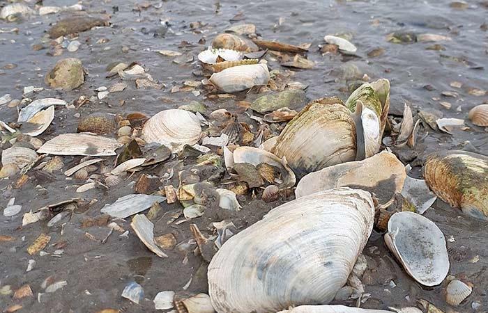 Muscheln im Wattenmeer