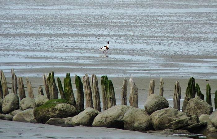 Ente im Nationalpark Hamburgisches Wattenmeer