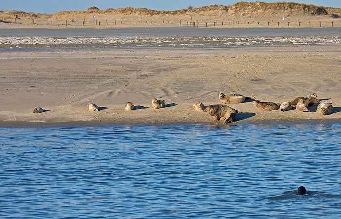 Kegelrobben und Seehunde auf Norderney