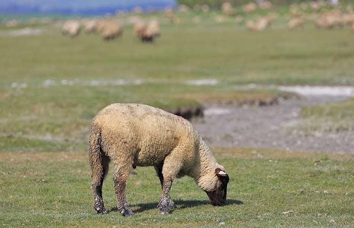 Schafe an der Salzwiese