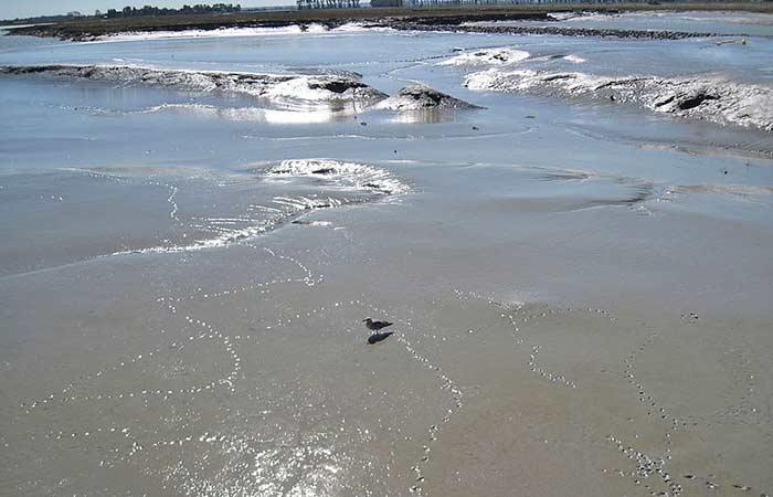 Die Seemöwe im Wattenmeer in der Bucht Mont Saint-Michel