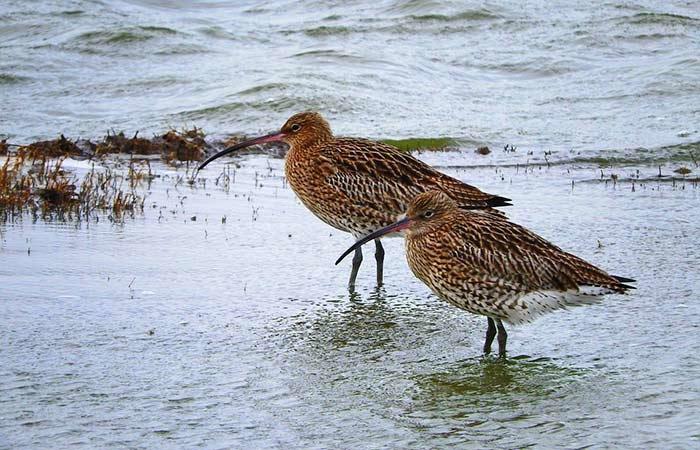 Brachvögel auf Texel