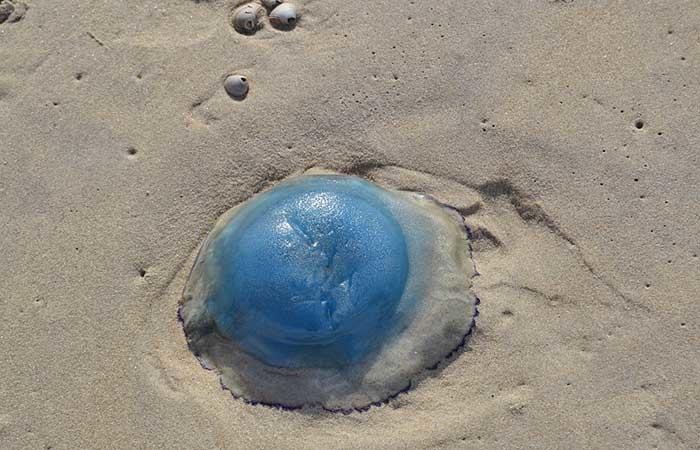 Blaue Qualle im Wattenmeer auf Texel